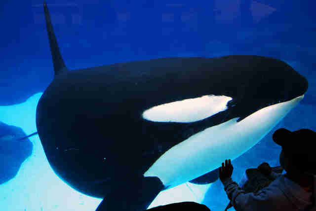 Ex-SeaWorld Employee Gives Chilling New Details About Orca Mistreatment