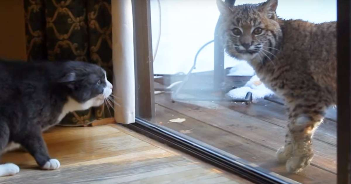 How Big Is A Bobcat Compared To A House Cat