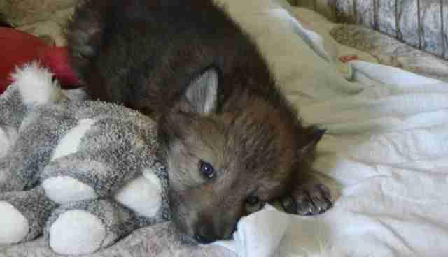 12 Years Ago Wolf Breeder Left These Runts To Die The Dodo