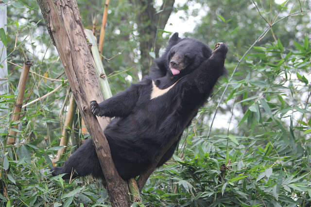 tree climbing bear shows us what real happiness looks like the dodo