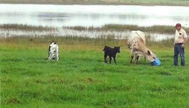 two baby daddies one pregnancy cow gives birth to rare