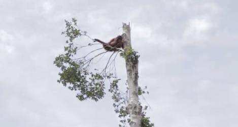 Orangutan clings to last tree after forest is cut down