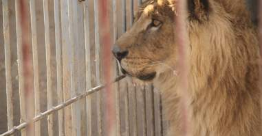 Mosul, Iraq zoo lion in cage