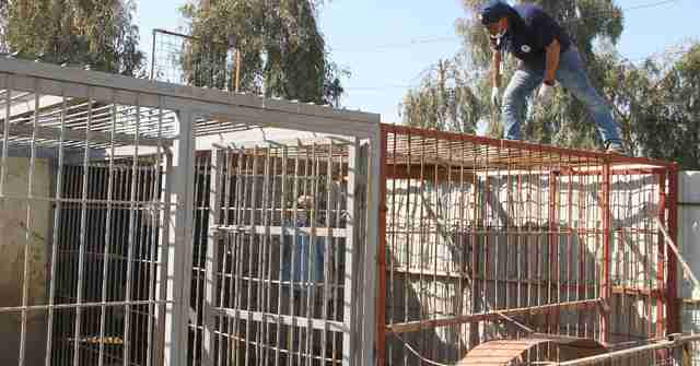 Rescuer stands on cage at war-torn Mosul, Iraq zoo
