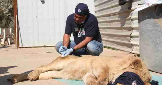 Rescuer with sedated Mosul zoo lion