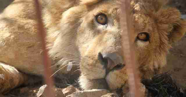 Last lion at destroyed Mosul, Iraq zoo