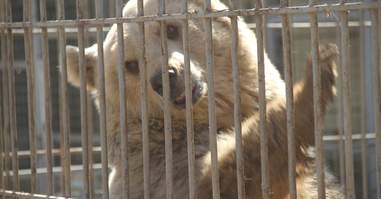 Last bear at Mosul zoo