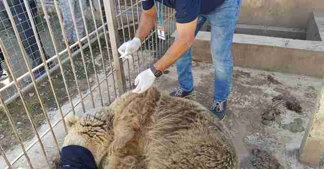 Last bear at Mosul zoo gets veterinary treatment