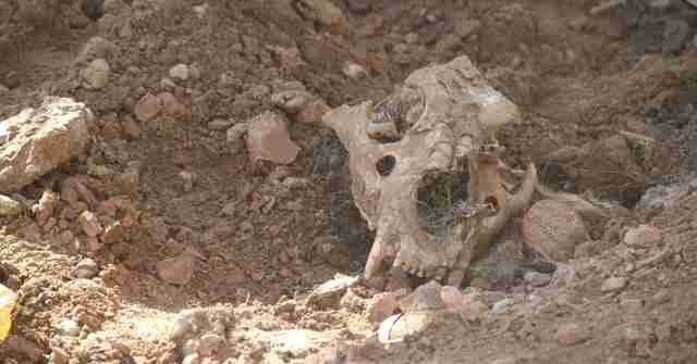 Part of a skull in the ruins of Mosul zoo
