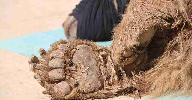 Close up of Mosul zoo bear's paw
