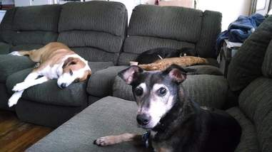 Senior dogs on couch