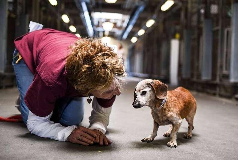Senior dachshund at shelter