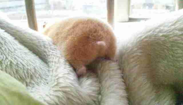 Hamster Butt 100