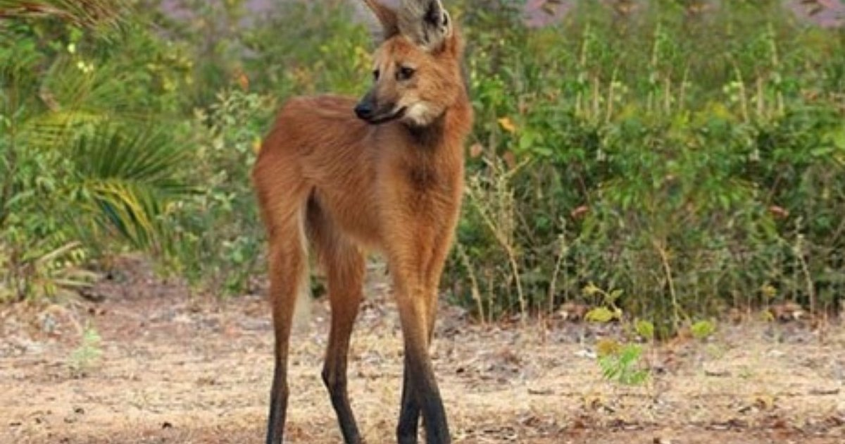 The Maned Wolf Proves Names Can Be Deceiving - The Dodo
