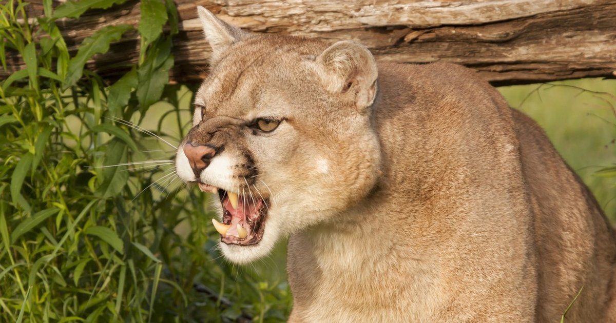 Mountain Lions Sound Like Nothing You d Ever Imagine - The Dodo 37ca1d4b0a