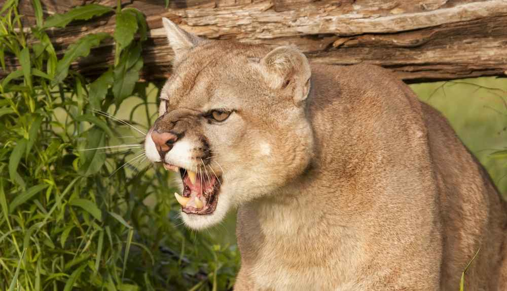 Mountain Lions Sound Like Nothing You'd Ever Imagine - The Dodo