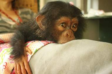 Baby chimp rescued from traffickers