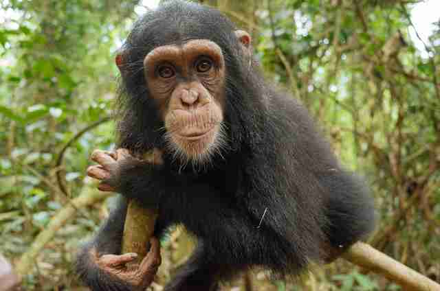 Chimp rescued years ago from traffickers in Cameroon