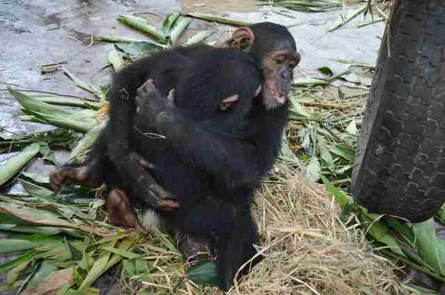 Rescued chimps hugging in Cameroon