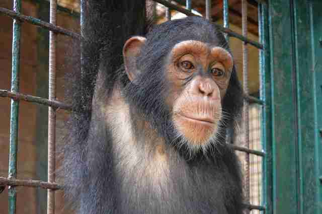 Rescued chimp at Cameroon sanctuary