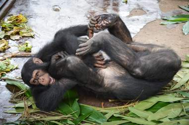 Rescued chimps playing in Cameroon