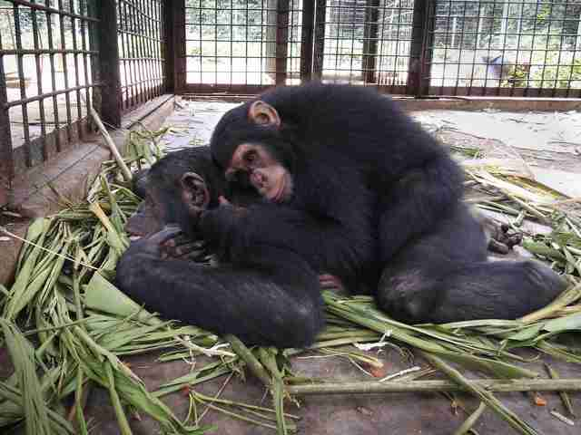 Rescued chimps snuggling in Cameroon