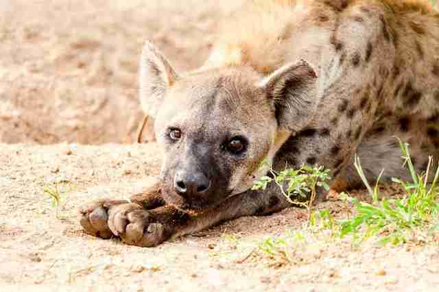 Um, Female Hyenas Have A Fake Penis - The Dodo-4946