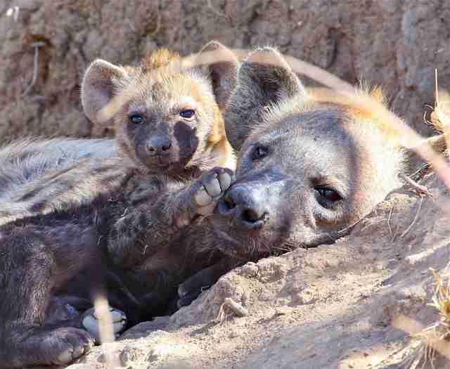 Female hyenas give birth through penises