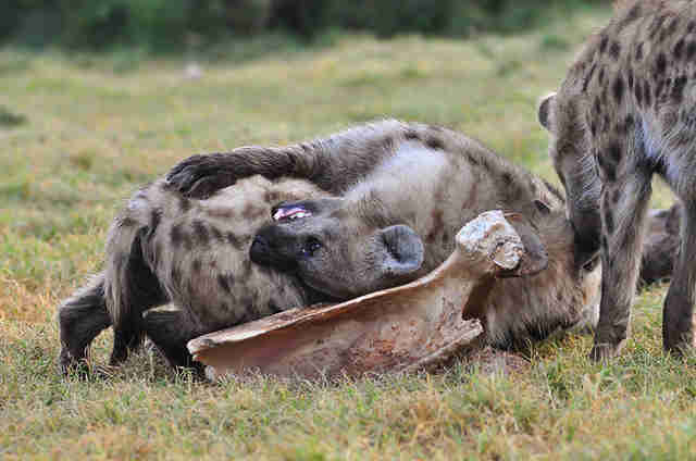Um, Female Hyenas Have A Fake Penis - The Dodo-2985