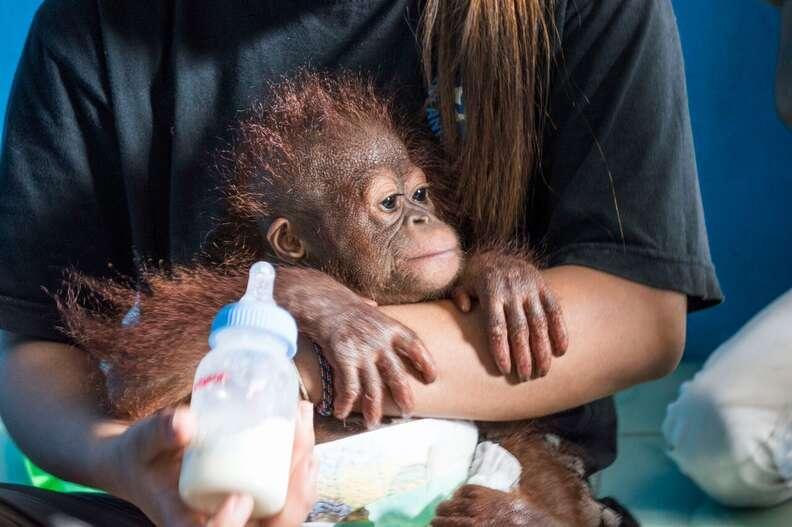 Vena, the latest baby orangutan rescued by IAR