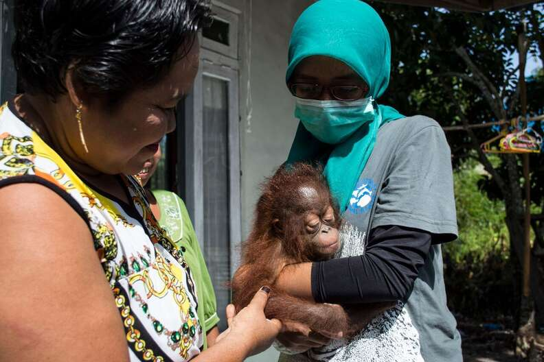Baby orangutan with the woman who kept her as a pet