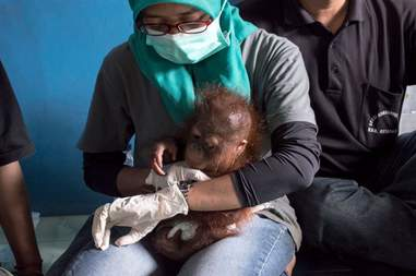 Vena the baby orangutan with a member of the IAR team