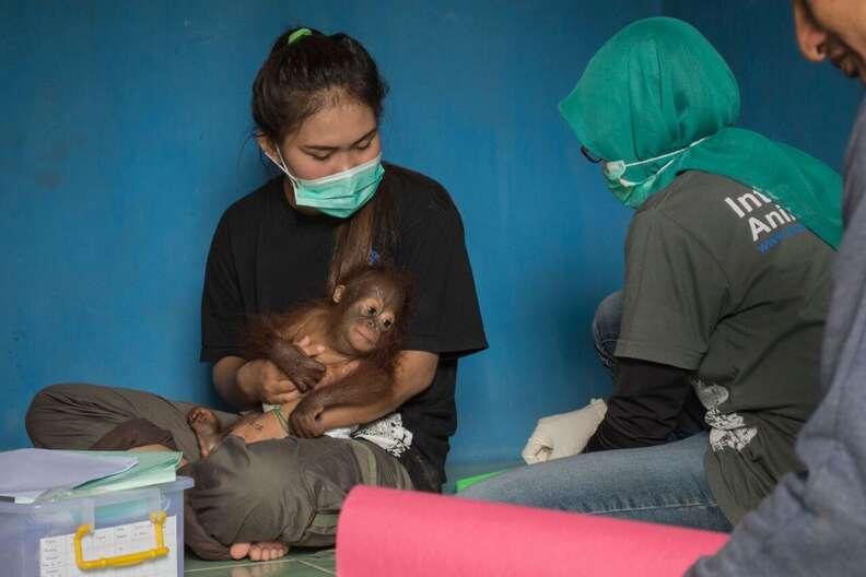 Vena the baby orangutan with a member of the IAR team
