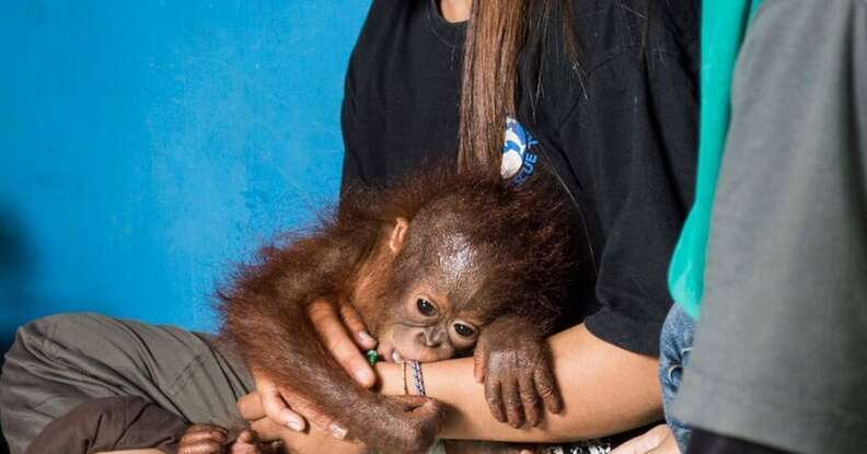 Vena the baby orangtuan with a member of the IAR team