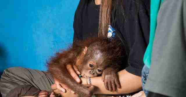 Vena the baby orangtuan with a member of the IAR team
