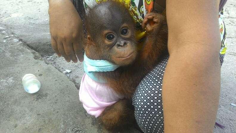 Bahiyah with Boyna, the other baby orangutan she kept as a pet