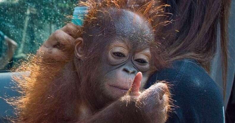 The IAR team carrying Vena the orangutan to safety