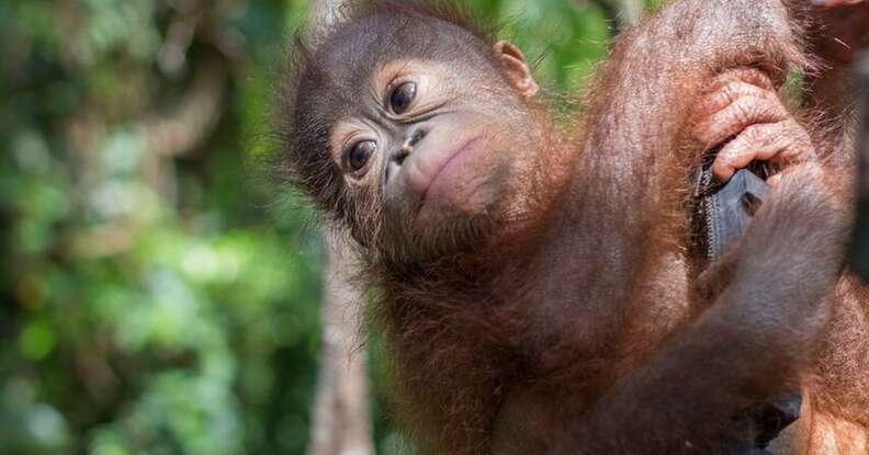 Boyna the orangutan learning to climb at the IAR rehabilitation center