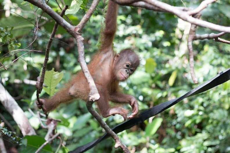 Boyna the orangutan learning to climb trees at the IAR rehabilitation center