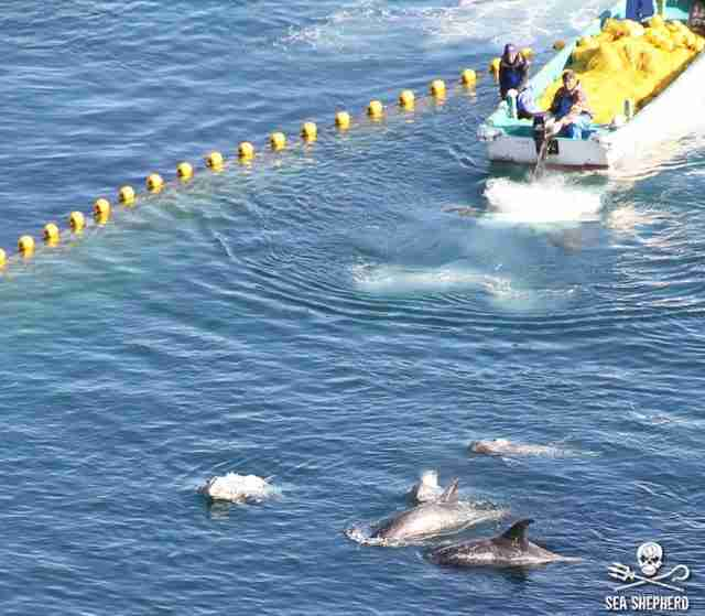 Dolphin drive hunt in Taiji, Japan