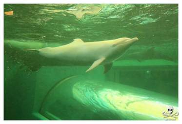 Angel, the albino dolphin at the Taiji Whale Museum