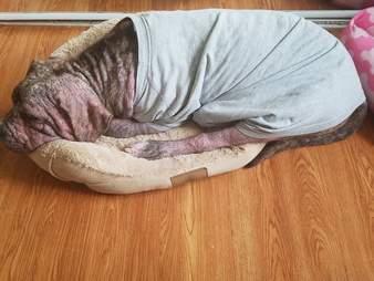 Mange dog in cat bed