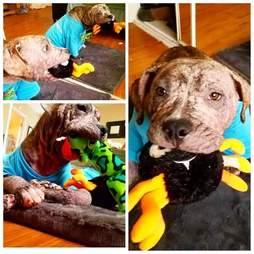 Mange dog with toys