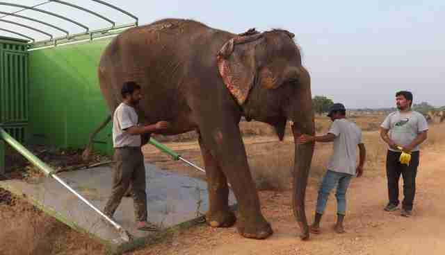 Circus Elephant Collapses With Joy To Learn That She Is Finally Free
