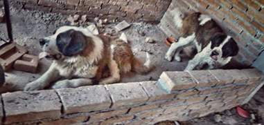 St. Bernard dogs trapped on a patio in Mexico