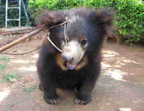 baby bear who was beaten and tied to tree gets new start the dodo
