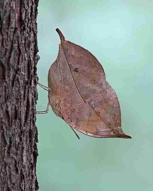 Oak Leaf Butterfly