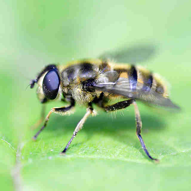 Hover Fly/ Bee Fly
