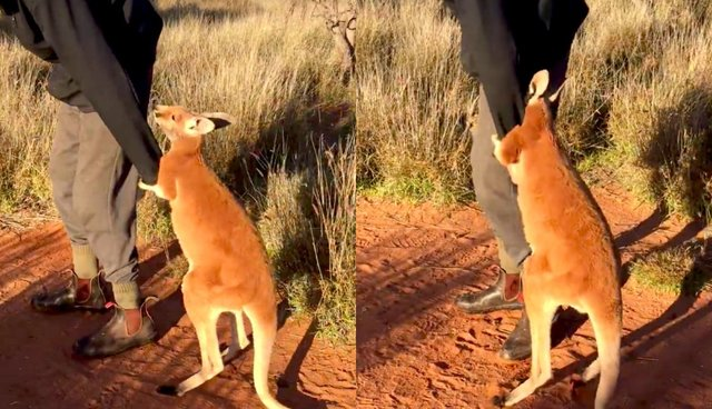 Baby Kangaroo Loves His Dad So Much He Wont Let Him Leave The Dodo - Kangaroo sanctuary alice springs
