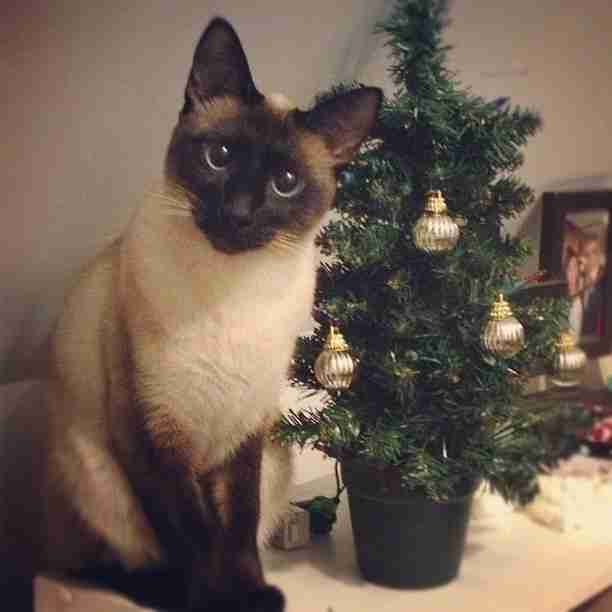 Are Christmas Trees Bad For Cats: 13 Cats Who Are Baffled By The Whole Christmas Tree Thing